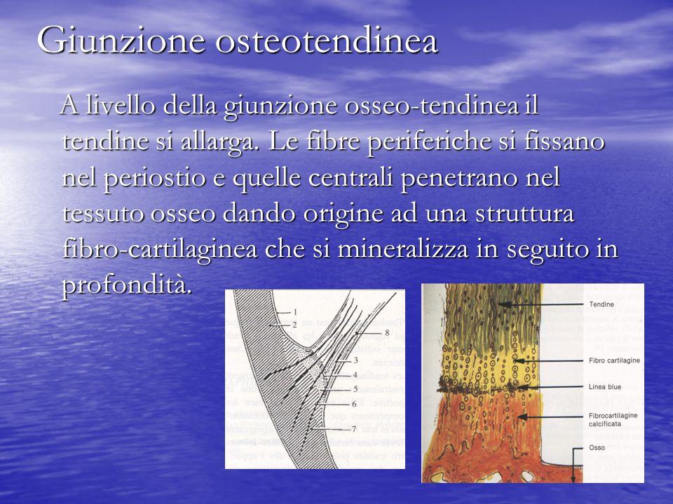 Giunzione osteotendinea A livello della giunzione osseo-tendinea il tendine si allarga. Le fibre periferiche si fissano nel periostio e quelle central