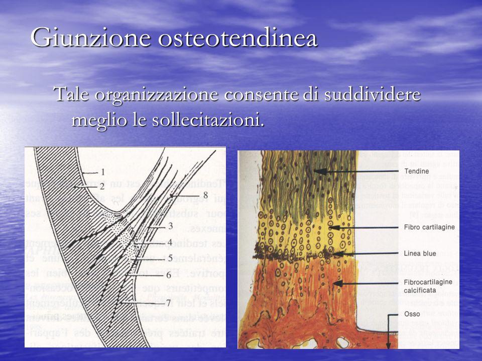 Giunzione osteotendinea Tale organizzazione consente di suddividere meglio le sollecitazioni.