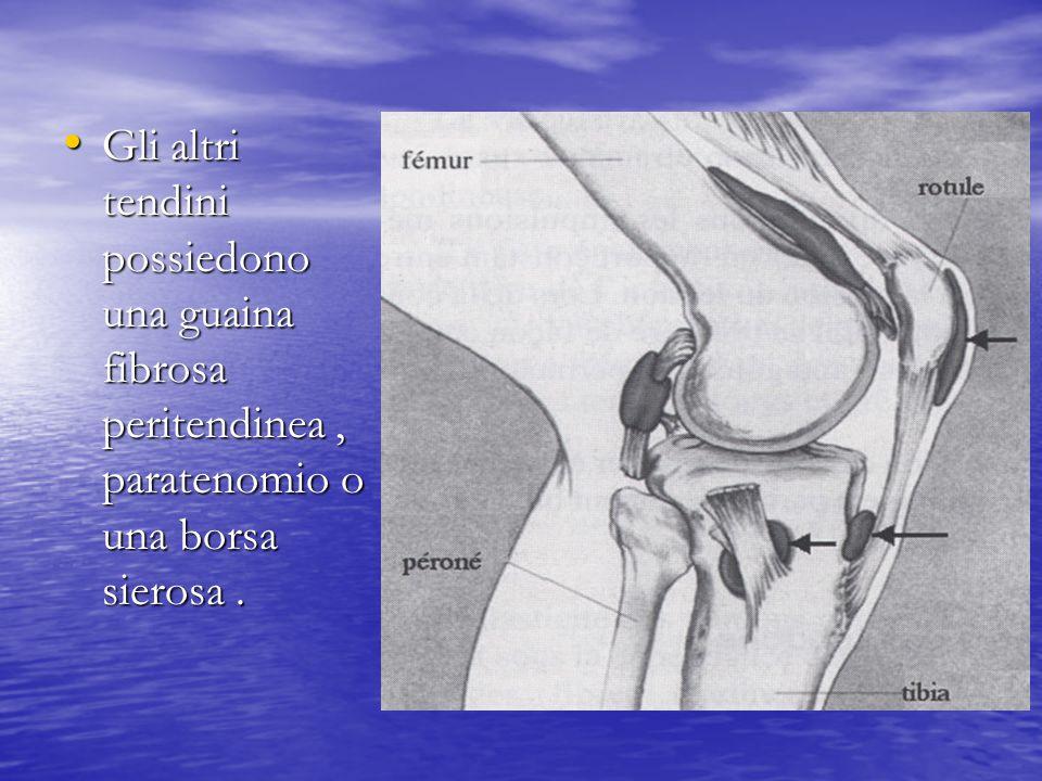 Gli altri tendini possiedono una guaina fibrosa peritendinea, paratenomio o una borsa sierosa. Gli altri tendini possiedono una guaina fibrosa periten