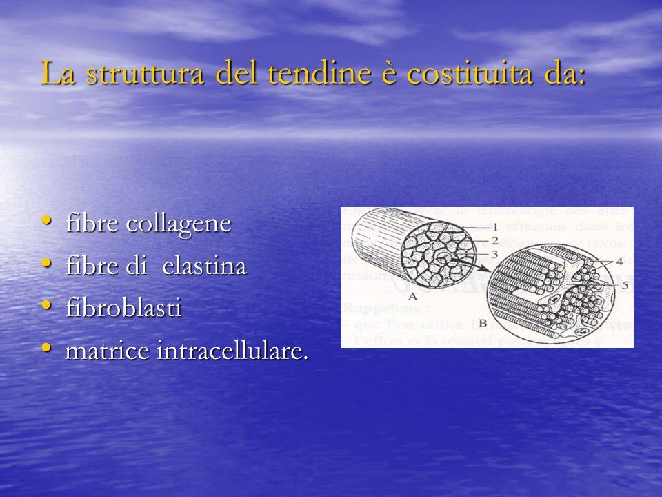 La struttura del tendine è costituita da: fibre collagene fibre collagene fibre di elastina fibre di elastina fibroblasti fibroblasti matrice intracellulare.