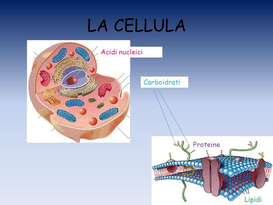 LA CELLULA Proteine Lipidi Acidi nucleici Carboidrati