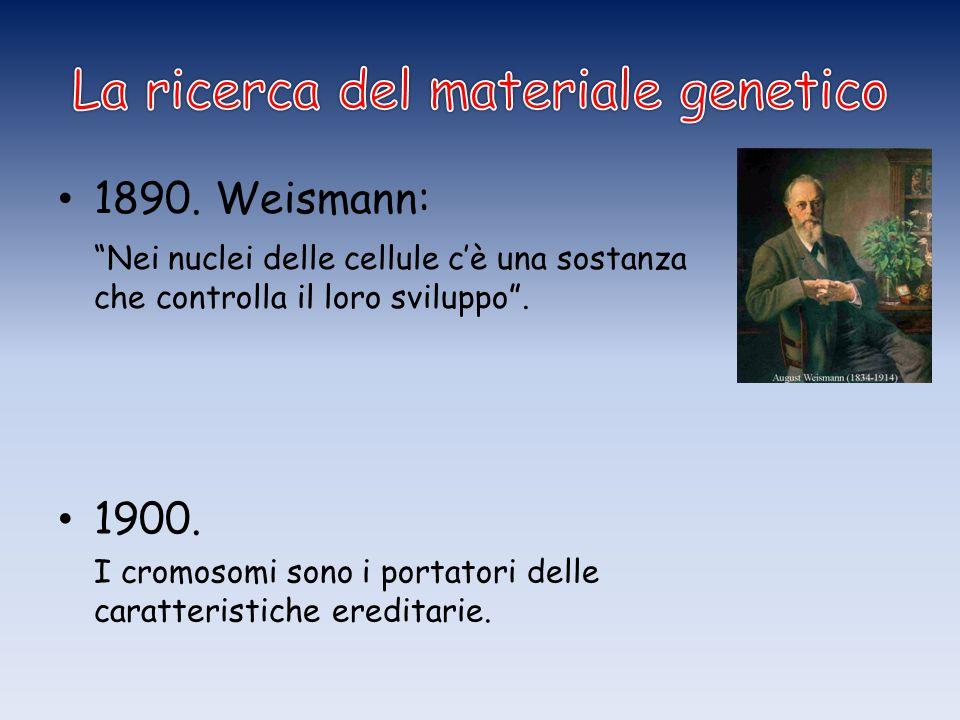 """1890. Weismann: """"Nei nuclei delle cellule c'è una sostanza che controlla il loro sviluppo"""". 1900. I cromosomi sono i portatori delle caratteristiche e"""