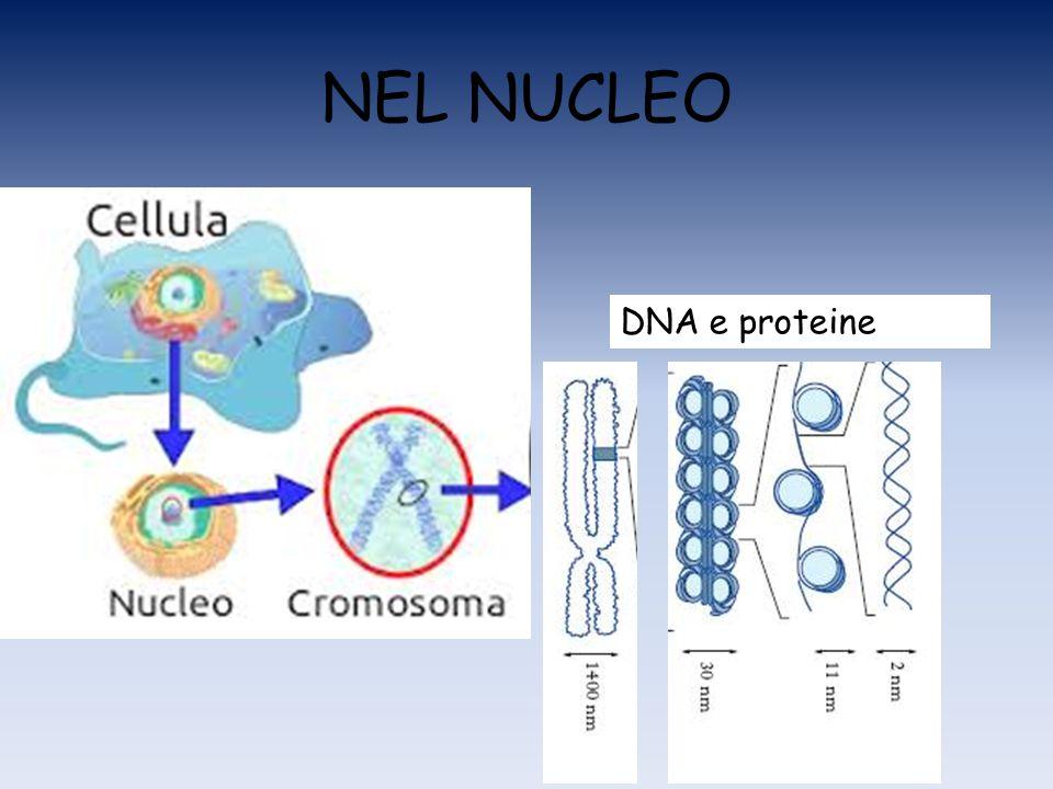 NEL NUCLEO DNA e proteine