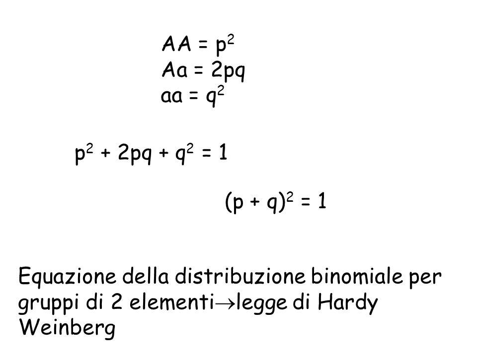 AA = p 2 Aa = 2pq aa = q 2 p 2 + 2pq + q 2 = 1 (p + q) 2 = 1 Equazione della distribuzione binomiale per gruppi di 2 elementi  legge di Hardy Weinberg