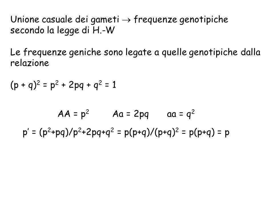 Unione casuale dei gameti  frequenze genotipiche secondo la legge di H.-W Le frequenze geniche sono legate a quelle genotipiche dalla relazione (p + q) 2 = p 2 + 2pq + q 2 = 1 AA = p 2 Aa = 2pqaa = q 2 p' = (p 2 +pq)/p 2 +2pq+q 2 = p(p+q)/(p+q) 2 = p(p+q) = p