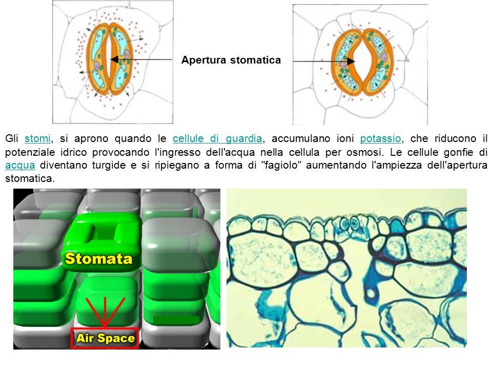 Apertura stomatica Gli stomi, si aprono quando le cellule di guardia, accumulano ioni potassio, che riducono il potenziale idrico provocando l'ingress