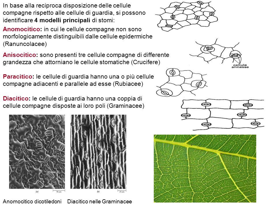 Anomocitico: in cui le cellule compagne non sono morfologicamente distinguibili dalle cellule epidermiche (Ranuncolacee) Anisocitico: sono presenti tr