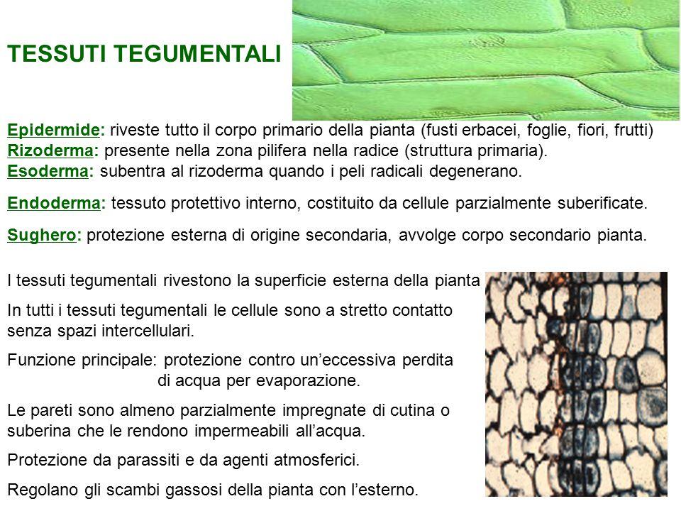 Tricomi: Sezione trasversale al SEM della foglia di Verbascum thapsus.