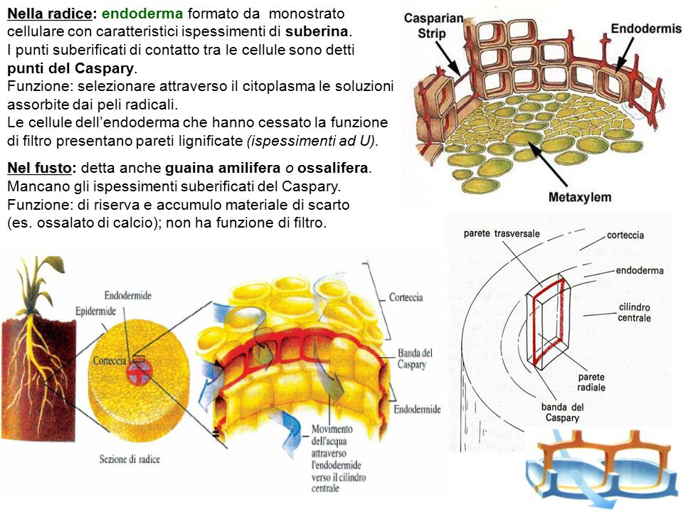 Nella radice Nella radice: endoderma formato da monostrato cellulare con caratteristici ispessimenti di suberina. I punti suberificati di contatto tra