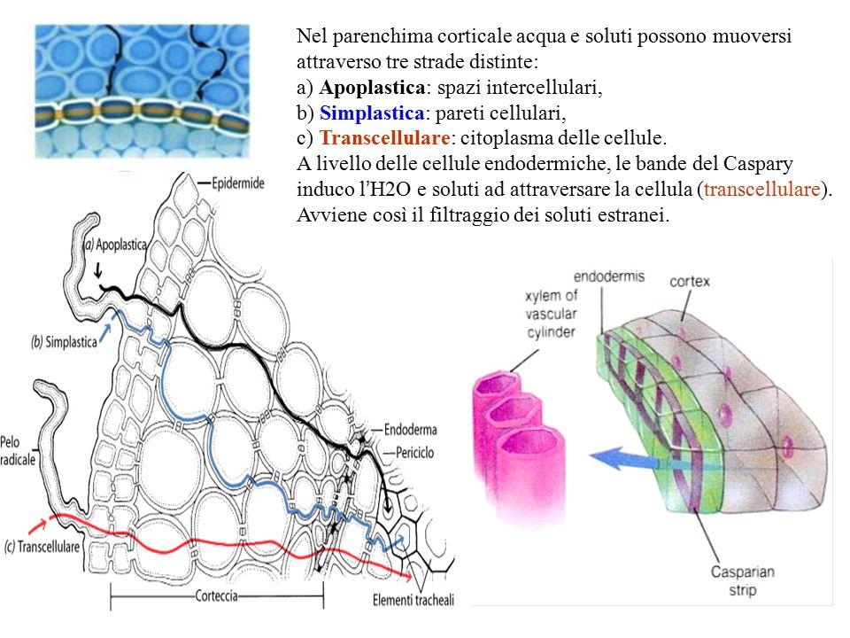 Nel parenchima corticale acqua e soluti possono muoversi attraverso tre strade distinte: a) Apoplastica: spazi intercellulari, b) Simplastica: pareti