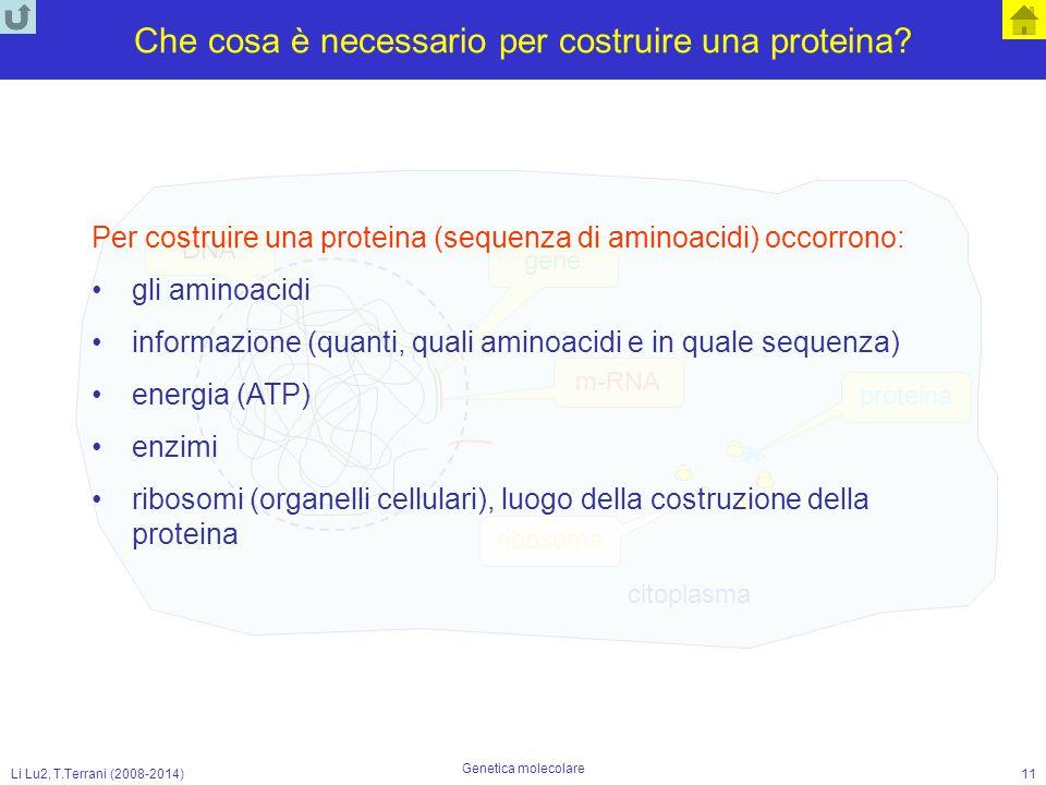 Li Lu2, T.Terrani (2008-2014) Genetica molecolare 11 Che cosa è necessario per costruire una proteina? DNA gene m-RNA citoplasma ribosoma proteina Per