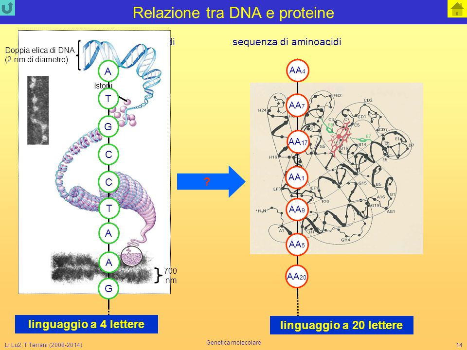 Li Lu2, T.Terrani (2008-2014) Genetica molecolare 14 Relazione tra DNA e proteine AA 1 AA 17 AA 4 AA 5 AA 9 AA 7 AA 20 sequenza di nucleotidi sequenza