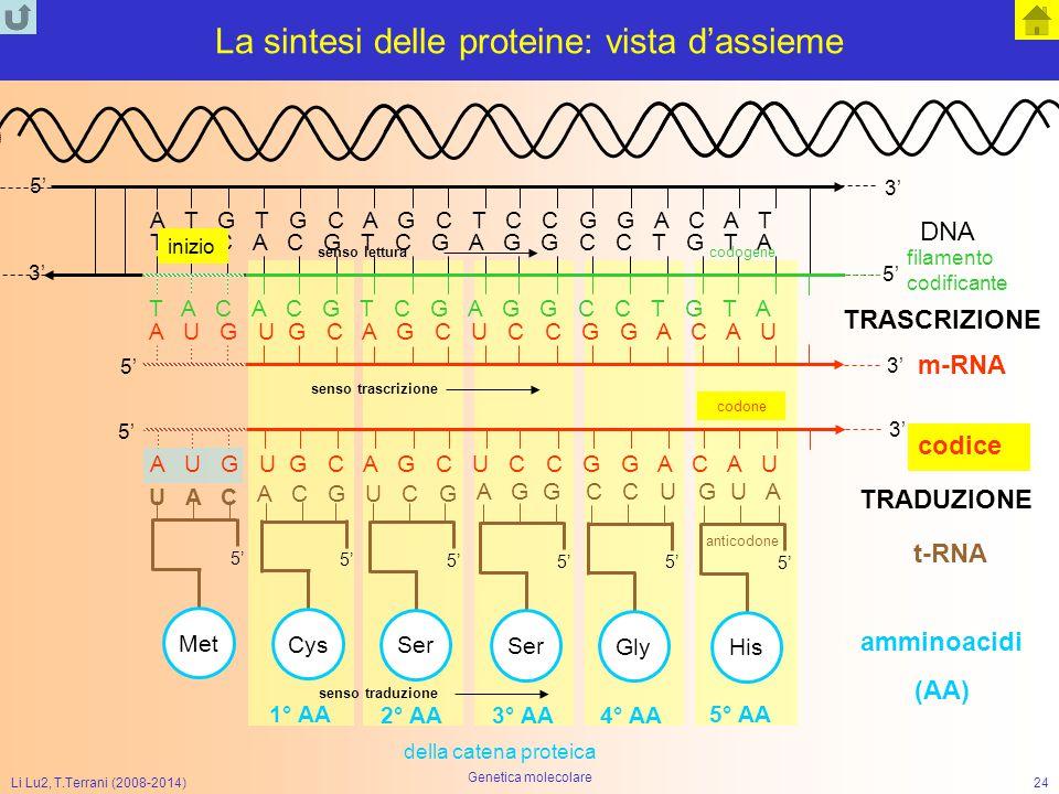 Li Lu2, T.Terrani (2008-2014) Genetica molecolare 24 La sintesi delle proteine: vista d'assieme T A C A C G T C G A G G C C T G T A A T G T G C A G C