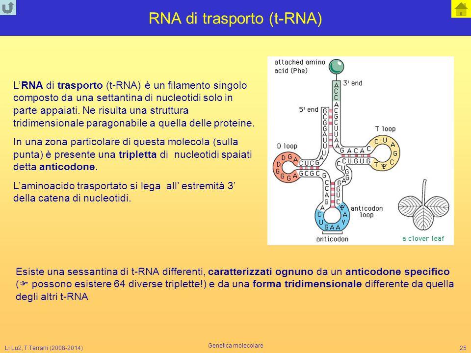 Li Lu2, T.Terrani (2008-2014) Genetica molecolare 25 RNA di trasporto (t-RNA) L'RNA di trasporto (t-RNA) è un filamento singolo composto da una settan