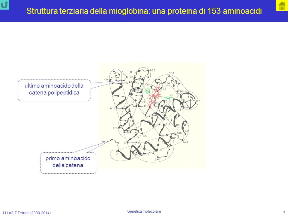 Li Lu2, T.Terrani (2008-2014) Genetica molecolare 18 Thr U G A La sintesi delle proteine T A C A C G T C G A G G C C T G T A A T G T G C A G C T C C G G A C A T His 5' G U A DNA 5' 3' 5' senso trascrizione senso lettura inizio T A C A C G T C G A G G C C T G T A filamento codificante codice Met 5' U A C A U G U G C A G C U C C G G A C A U 3' 5' A U G U G C A G C U C C G G A C A U 3' 5' Gly C C U Leu G A G RNA-polimerasi