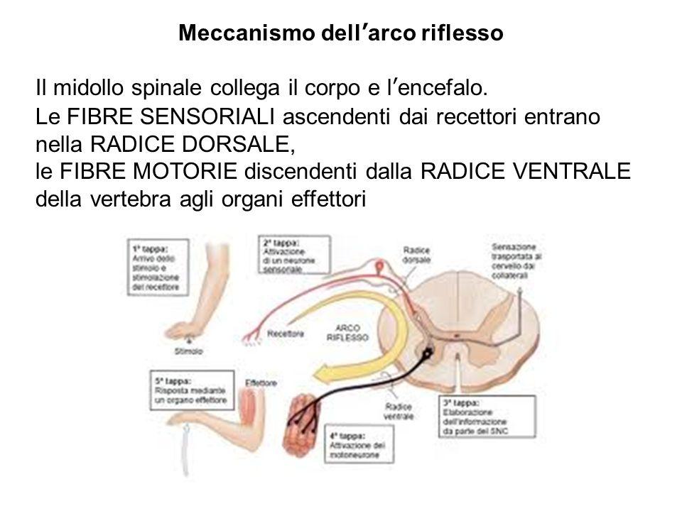 Meccanismo dell'arco riflesso Il midollo spinale collega il corpo e l'encefalo.