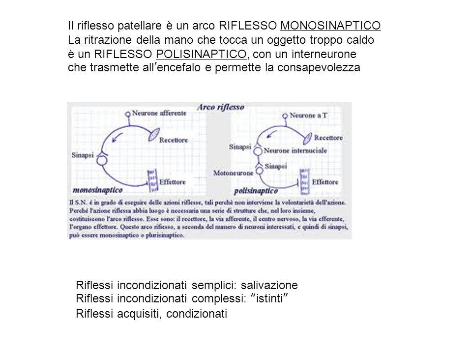 Il riflesso patellare è un arco RIFLESSO MONOSINAPTICO La ritrazione della mano che tocca un oggetto troppo caldo è un RIFLESSO POLISINAPTICO, con un interneurone che trasmette all'encefalo e permette la consapevolezza Riflessi incondizionati semplici: salivazione Riflessi incondizionati complessi: istinti Riflessi acquisiti, condizionati