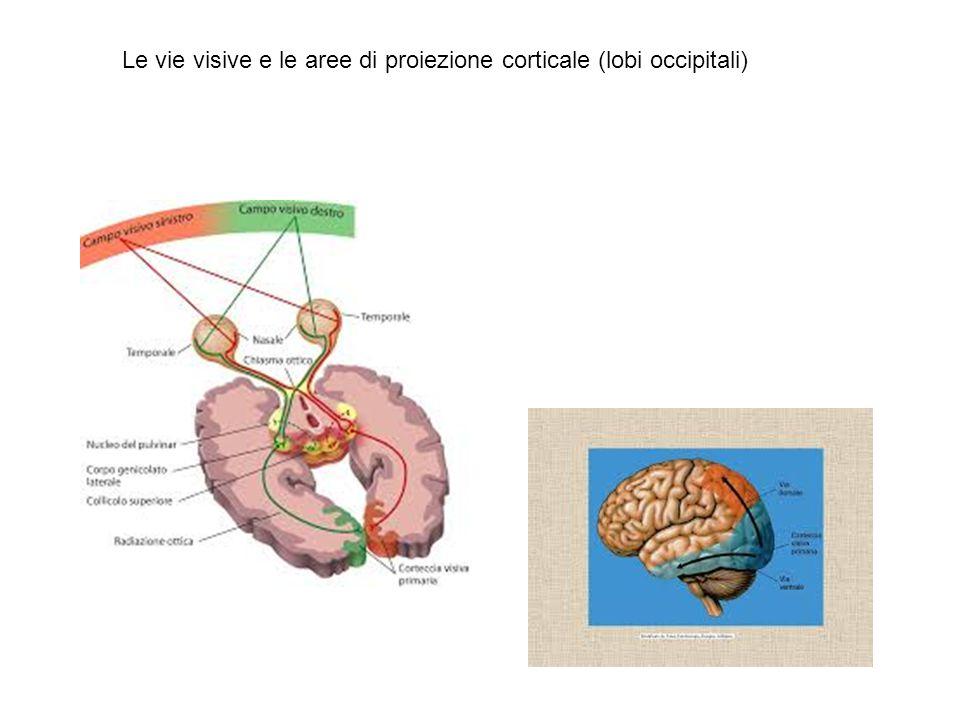 Le vie visive e le aree di proiezione corticale (lobi occipitali)
