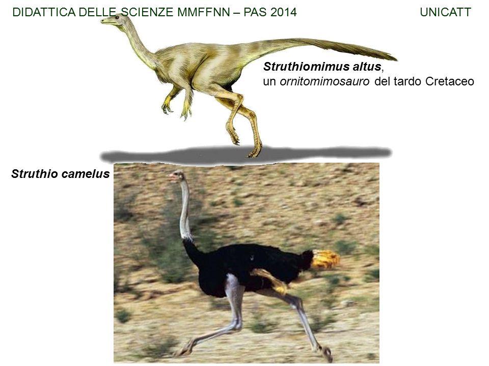Struthiomimus altus, un ornitomimosauro del tardo Cretaceo Struthio camelus DIDATTICA DELLE SCIENZE MMFFNN – PAS 2014 UNICATT
