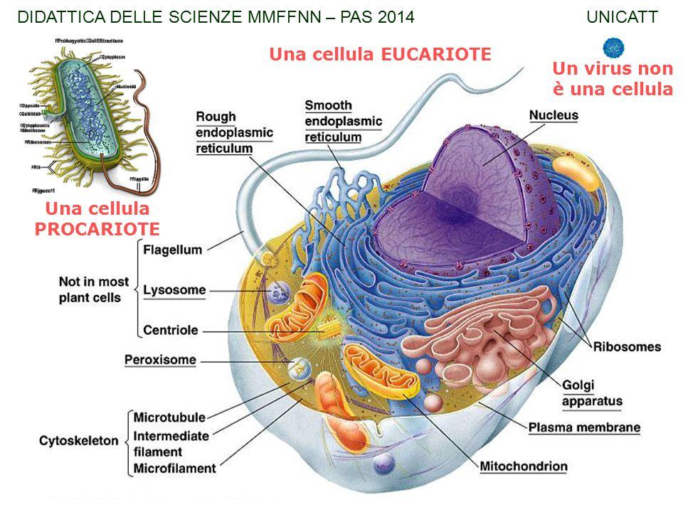 Una cellula PROCARIOTE Una cellula EUCARIOTE Un virus non è una cellula DIDATTICA DELLE SCIENZE MMFFNN – PAS 2014 UNICATT