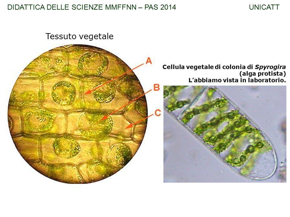 Tessuto vegetale Cellula vegetale di colonia di Spyrogira (alga protista) L'abbiamo vista in laboratorio. DIDATTICA DELLE SCIENZE MMFFNN – PAS 2014 UN