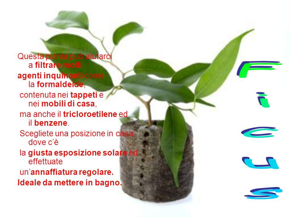 Questa pianta può aiutarci a filtrare molti agenti inquinanti come la formaldeide, contenuta nei tappeti e nei mobili di casa, ma anche il tricloroetilene ed il benzene.