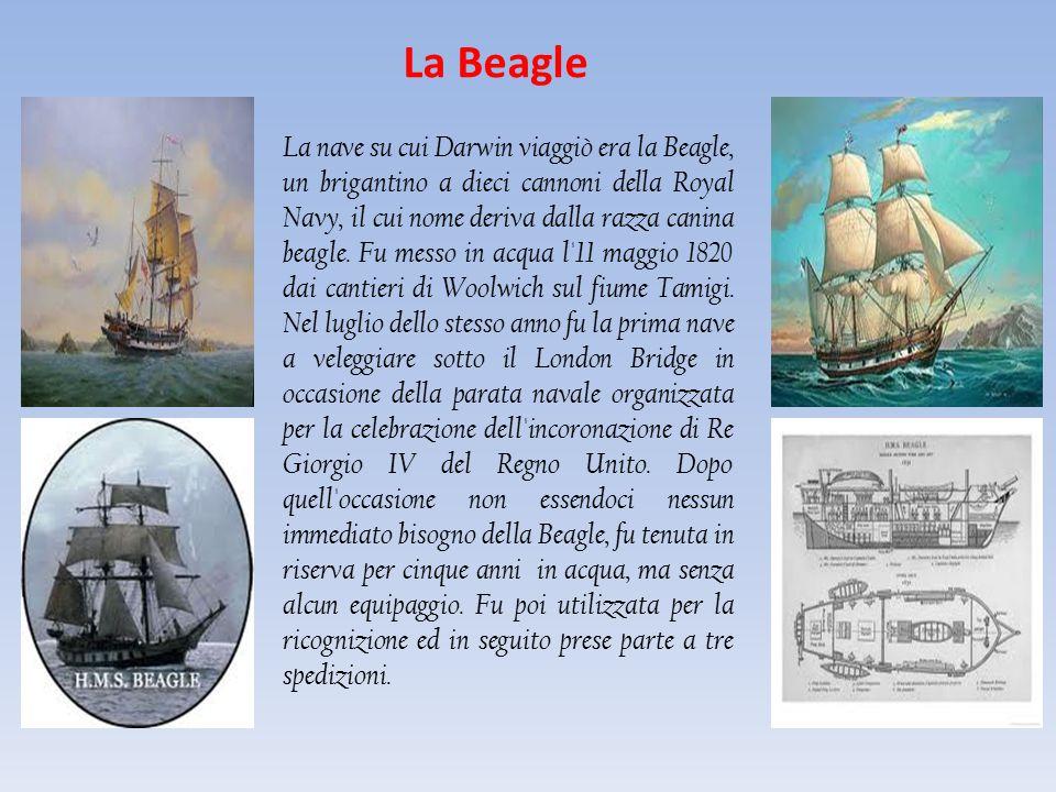 La Beagle La nave su cui Darwin viaggiò era la Beagle, un brigantino a dieci cannoni della Royal Navy, il cui nome deriva dalla razza canina beagle. F