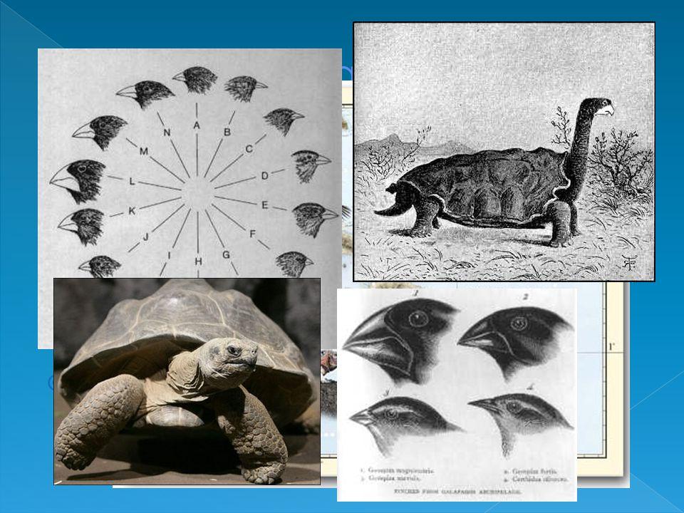  Il 15 settembre 1835 fa rotta per le isole Galapagos dove rimare per circa un mese  Qui rimase particolarmente colpito dalla diversità degli animali che abitavano ciascuna isola  In particolare ciascuna isola aveva specie di fringuelli e tartarughe caratteristici
