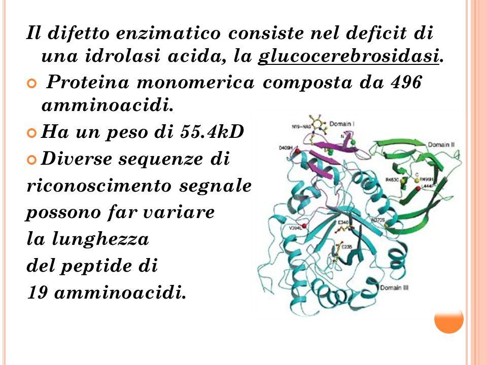 Il difetto enzimatico consiste nel deficit di una idrolasi acida, la glucocerebrosidasi. Proteina monomerica composta da 496 amminoacidi. Ha un peso d