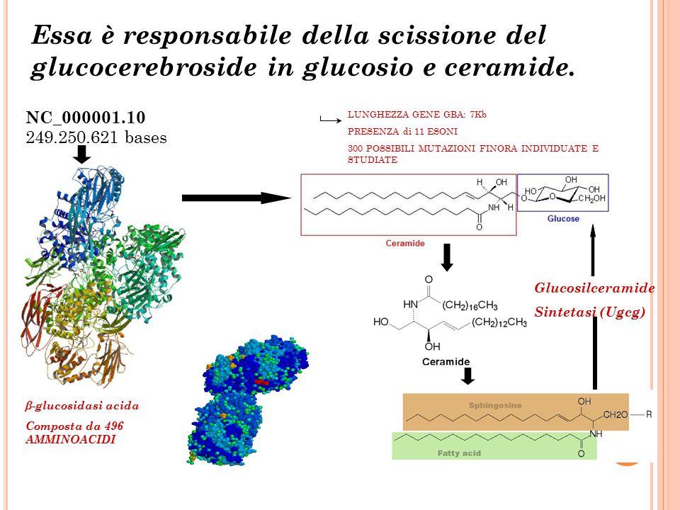 Essa è responsabile della scissione del glucocerebroside in glucosio e ceramide. NC_000001.10 249.250.621 bases LUNGHEZZA GENE GBA: 7Kb PRESENZA di 11