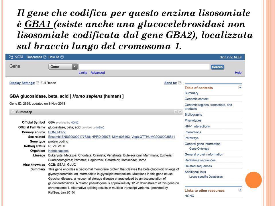 Il gene che codifica per questo enzima lisosomiale è GBA1 (esiste anche una glucocelebrosidasi non lisosomiale codificata dal gene GBA2), localizzata
