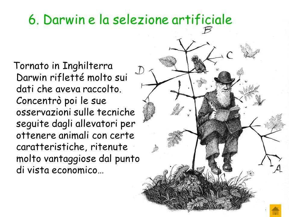 6. Darwin e la selezione artificiale Un altro fatto colpì Darwin: la quantità di specie che aveva osservato nelle diverse zone visitate era enorme e t