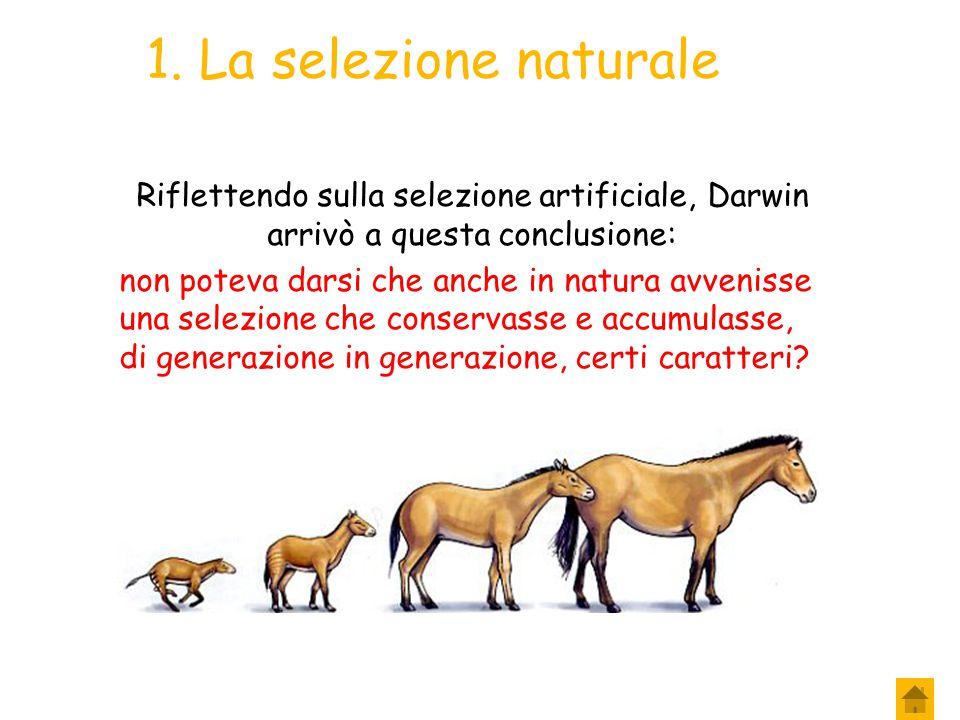 10. Darwin e la selezione artificiale La selezione artificiale Nuovi caratteri appaiono all'improvviso, in modo del tutto casuale e imprevedibile; Gli