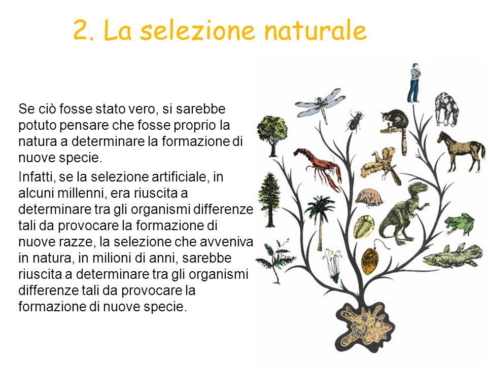 1. La selezione naturale Riflettendo sulla selezione artificiale, Darwin arrivò a questa conclusione: non poteva darsi che anche in natura avvenisse u