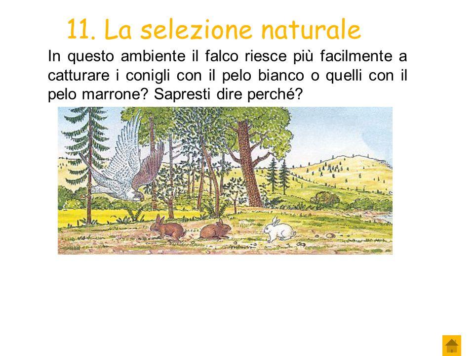 9. La selezione naturale Una coppia di conigli, che vive ai margini di un bosco, ha da poco dato alla luce dei coniglietti: alcuni di questi hanno il