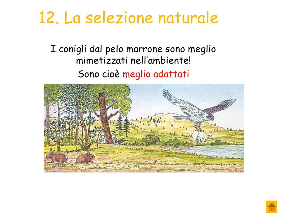 11. La selezione naturale In questo ambiente il falco riesce più facilmente a catturare i conigli con il pelo bianco o quelli con il pelo marrone? Sap