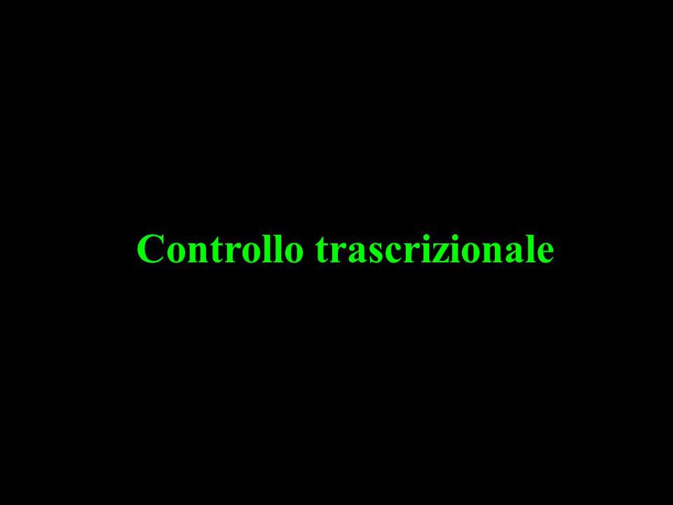 Importanza delle modificazioni post-traduzionali degli istoni: acetilazione-deacetilazione TBP + TAFs=TFIID