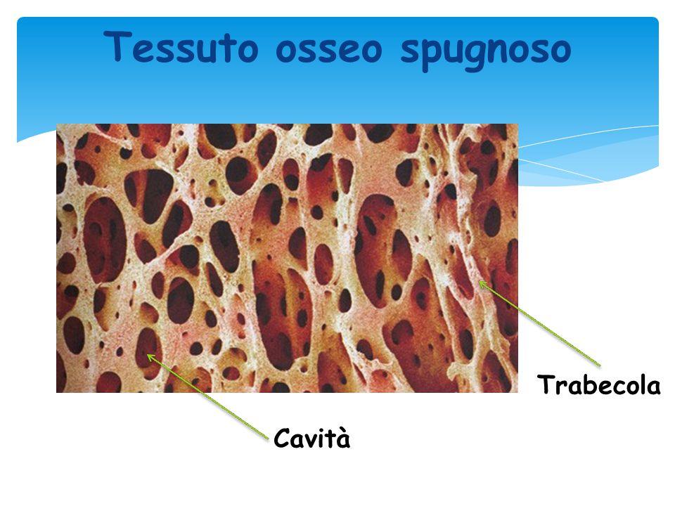Tessuto osseo spugnoso Cavità Trabecola