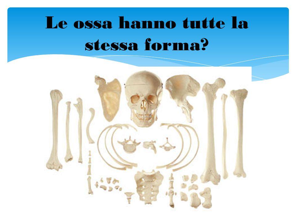 Le ossa hanno tutte la stessa forma?