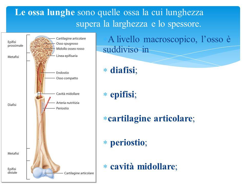  A livello macroscopico, l'osso è suddiviso in  diafisi;  epifisi;  cartilagine articolare;  periostio;  cavità midollare; Tortora, Derrickson C