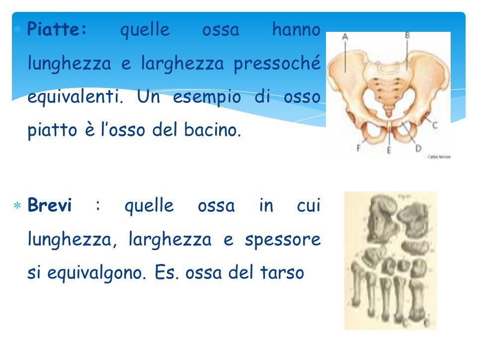  Piatte: quelle ossa hanno lunghezza e larghezza pressoché equivalenti. Un esempio di osso piatto è l'osso del bacino.  Brevi : quelle ossa in cui l