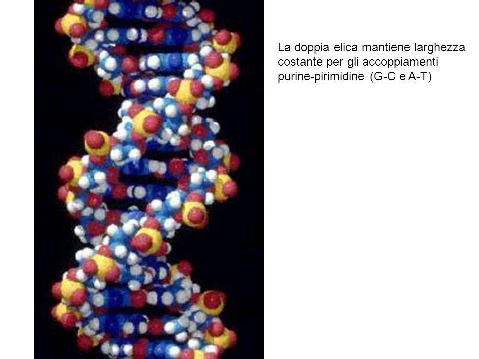 La doppia elica mantiene larghezza costante per gli accoppiamenti purine-pirimidine (G-C e A-T)