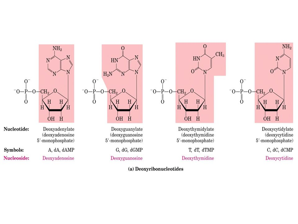 Replicazione del DNA Ogni catena separata diventa lo stampo per la biosintesi di una catena figlia complementare