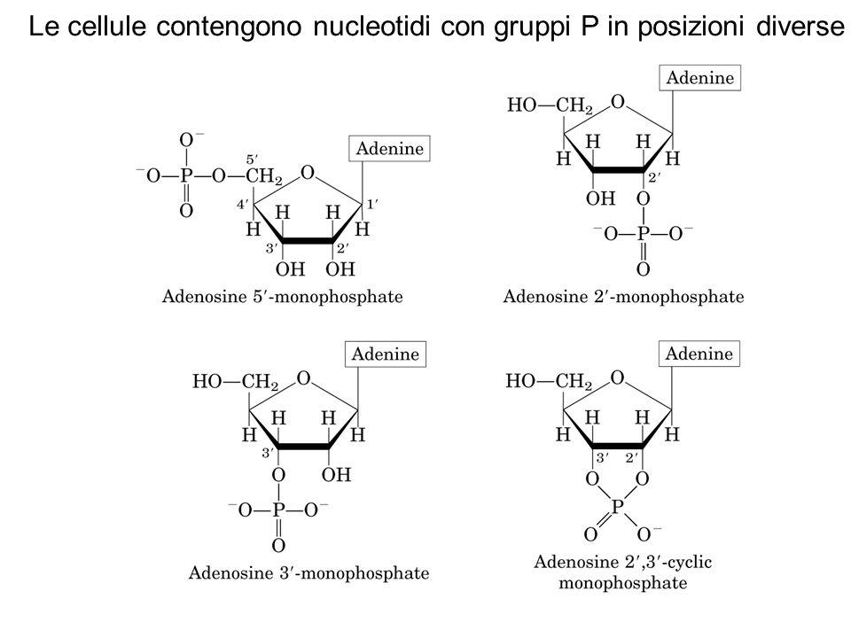 RNA Polimero a filamento singolo di unità ribonucleotidiche a PM da 2.5 10 5 -10 6 (solo approssimativamente A+C  G+U) che si può trovare: nel nucleo nei mitocondri nei cloroplasti nella parete cellulare in fase solubile nel citoplasma Ci sono tre tipi di RNA: RNA ribosomiale, 80% del totale, presente in filamenti non ramificati e flessibili RNA messaggero,meno del 5% del totale porta l'informazione per la sintesi proteica contenuta nel DNA RNA transfert, 15% del totale molecola piccola con funzioni di trasportatore di a.a.durante la sintesi proteica (un t-RNA per ogni a.a.)