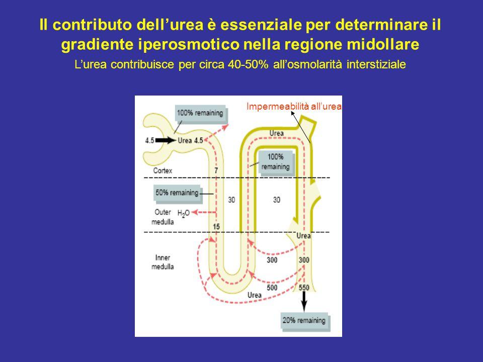 Il contributo dell'urea è essenziale per determinare il gradiente iperosmotico nella regione midollare L'urea contribuisce per circa 40-50% all'osmolarità interstiziale Impermeabilità all'urea