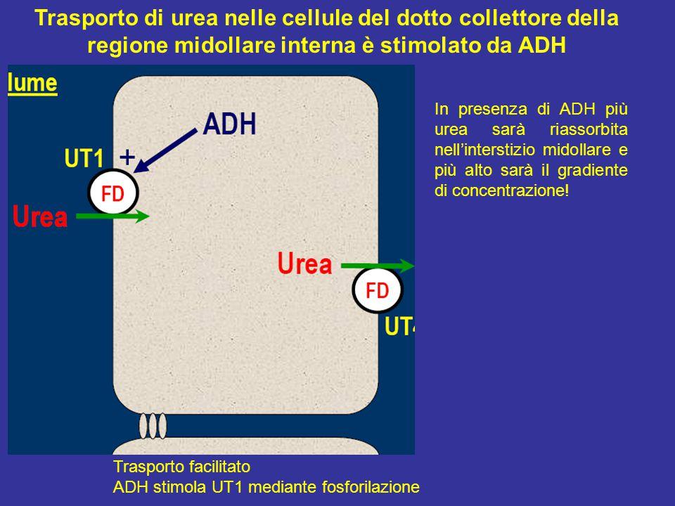 Trasporto facilitato ADH stimola UT1 mediante fosforilazione Trasporto di urea nelle cellule del dotto collettore della regione midollare interna è stimolato da ADH In presenza di ADH più urea sarà riassorbita nell'interstizio midollare e più alto sarà il gradiente di concentrazione!