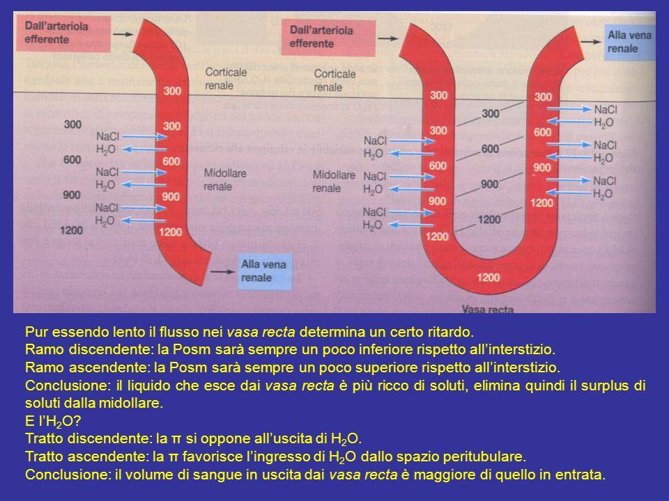 Per spiegazione vasa recta casella pg 683 Pur essendo lento il flusso nei vasa recta determina un certo ritardo.