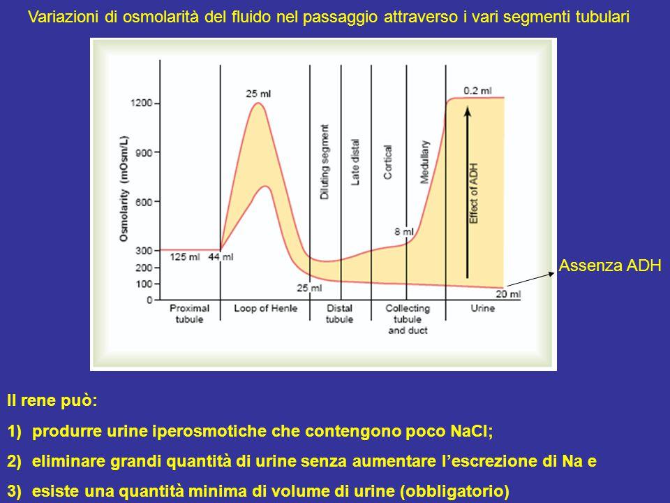 Variazioni di osmolarità del fluido nel passaggio attraverso i vari segmenti tubulari Il rene può: 1)produrre urine iperosmotiche che contengono poco NaCl; 2)eliminare grandi quantità di urine senza aumentare l'escrezione di Na e 3)esiste una quantità minima di volume di urine (obbligatorio) Assenza ADH