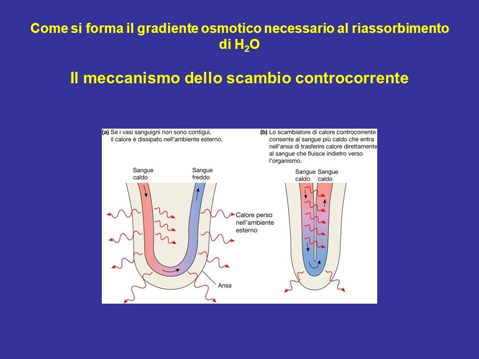 Come si forma il gradiente osmotico necessario al riassorbimento di H 2 O Il meccanismo dello scambio controcorrente