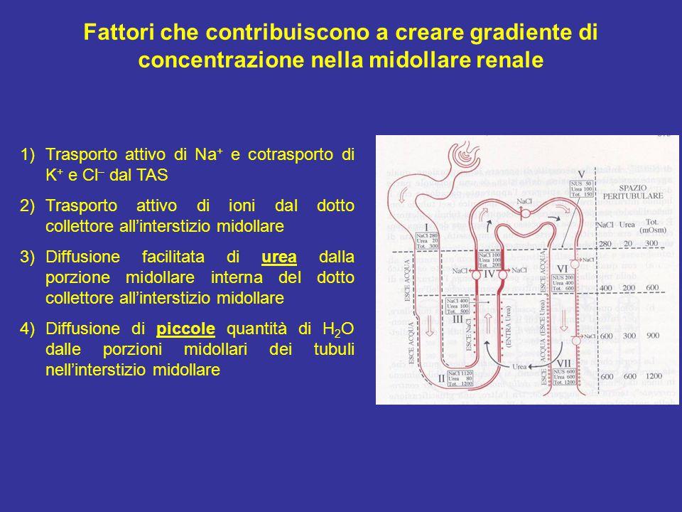 Fattori che contribuiscono a creare gradiente di concentrazione nella midollare renale 1)Trasporto attivo di Na + e cotrasporto di K + e Cl – dal TAS 2)Trasporto attivo di ioni dal dotto collettore all'interstizio midollare 3)Diffusione facilitata di urea dalla porzione midollare interna del dotto collettore all'interstizio midollare 4)Diffusione di piccole quantità di H 2 O dalle porzioni midollari dei tubuli nell'interstizio midollare